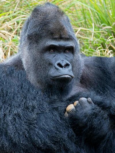 Gorilarbz